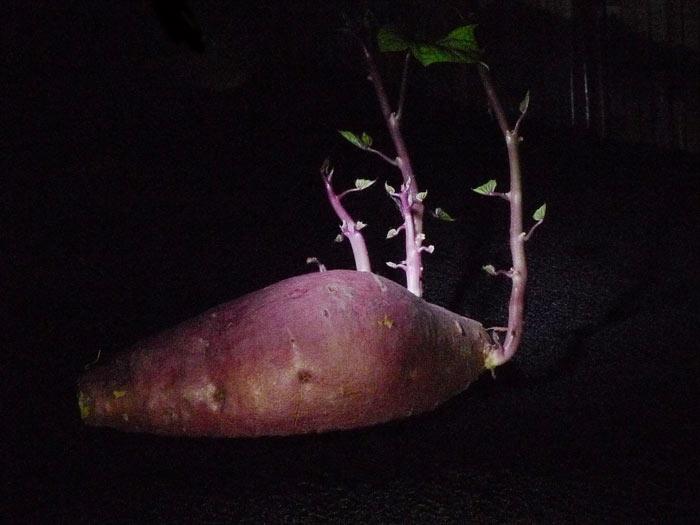 03-Batata-doce-Kazue-Asano-frutas-e-verduras-que-voce-compra-uma-vez-e-replanta-sempre