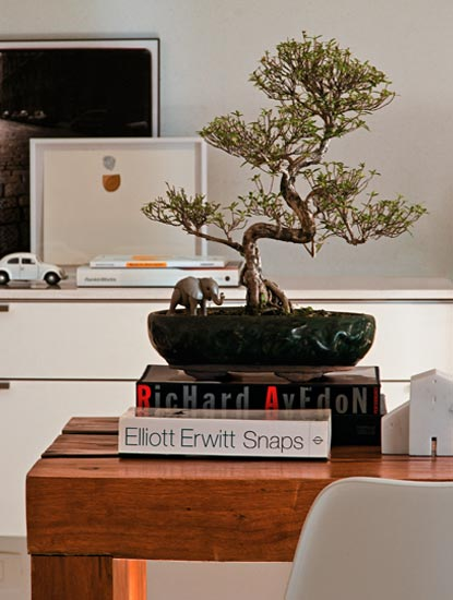Naturalmente, o arbusto asiático serissa (Serissa foetida) atinge 6 m de alt...
