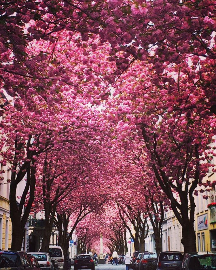 06-avenida-cherry-blossom-bonn